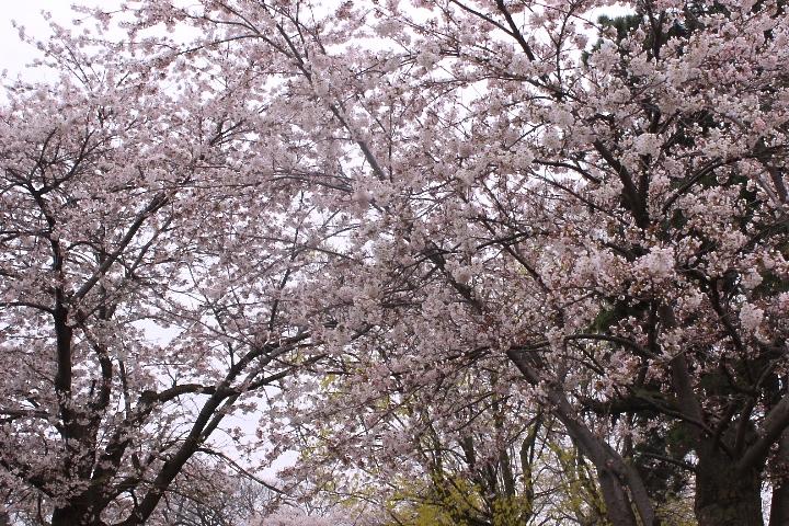 Cherry Blossoms in HighPark